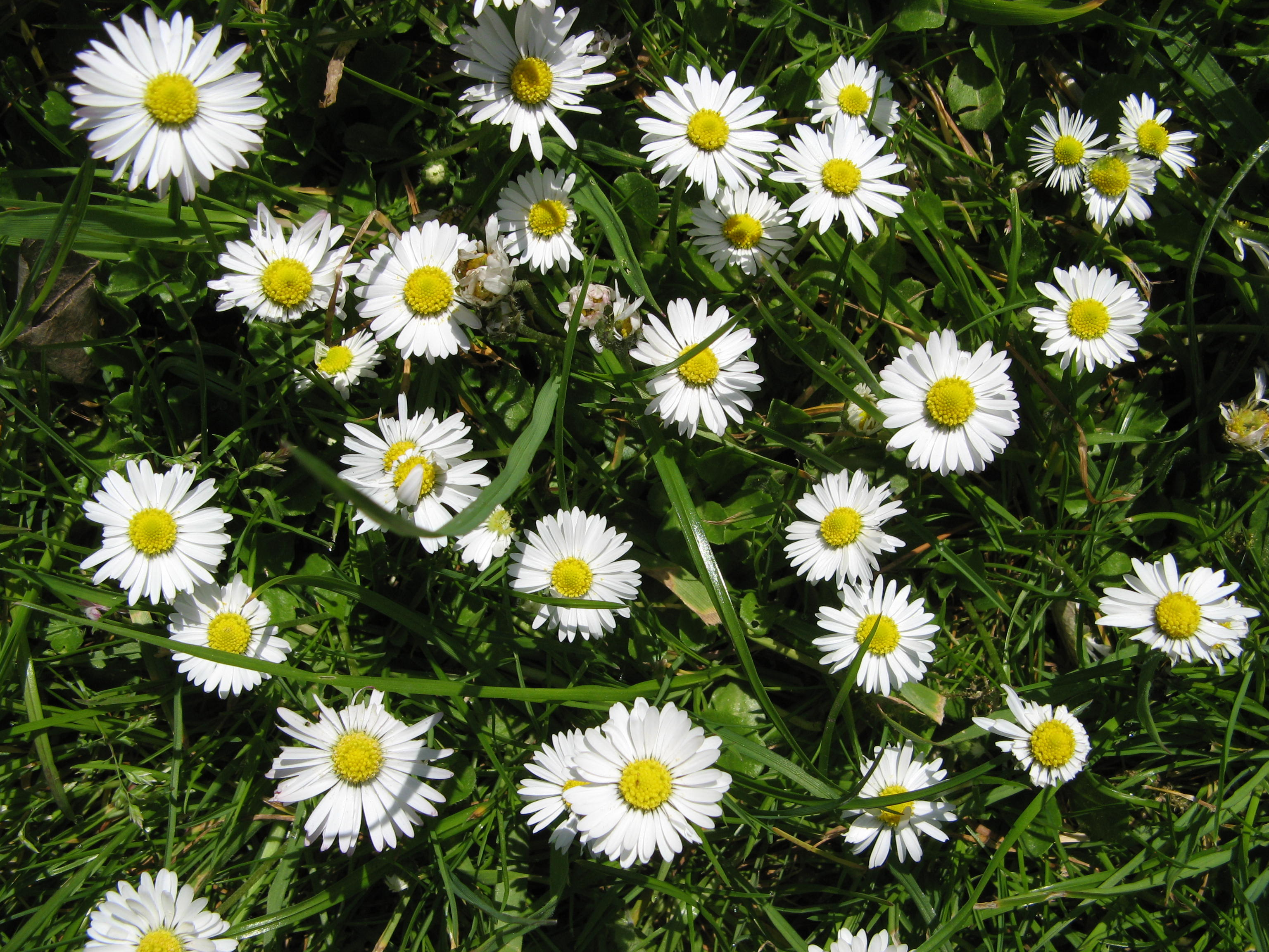 Wild daisies agnesandcora my favourites are wild ox eye daisies i would love to grow them in the garden but in the meantime i have marguerittes swan river daisies bellis daisies izmirmasajfo