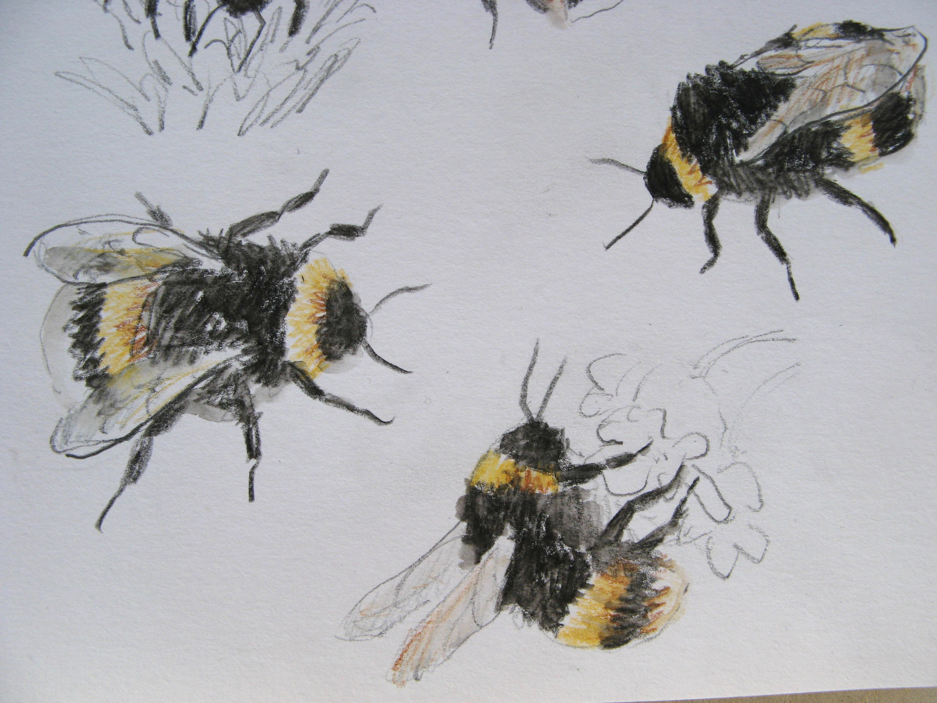 Bumble Bee Scientific Drawing