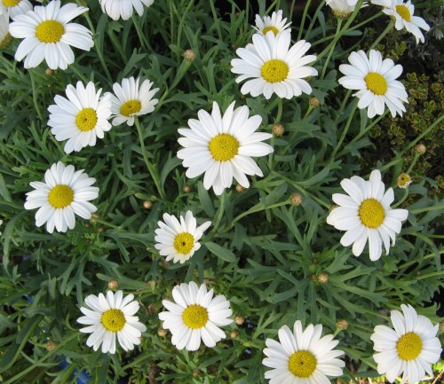 daisy embroideries 1