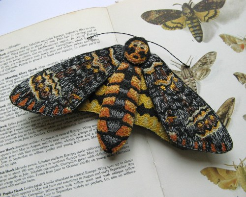 deaths head hawk moth 023