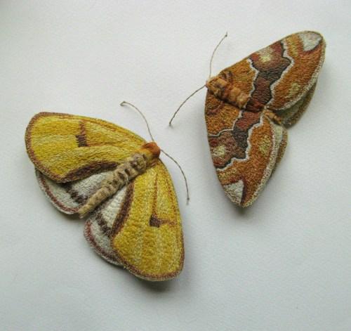 yellow moths 083